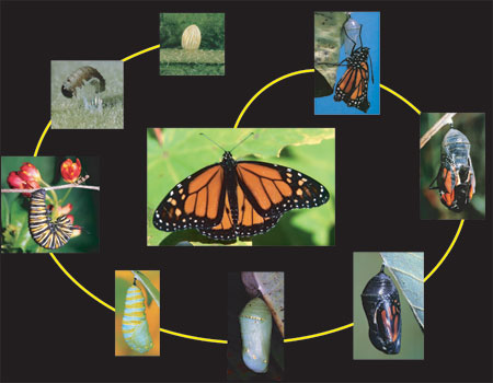 This pictureshows the cycle a caterpillar takes to become a ...